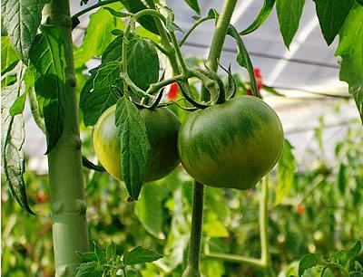 fruit-tomato04