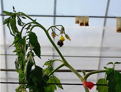 fruit-tomato02