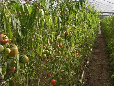 フルーツトマトの畑